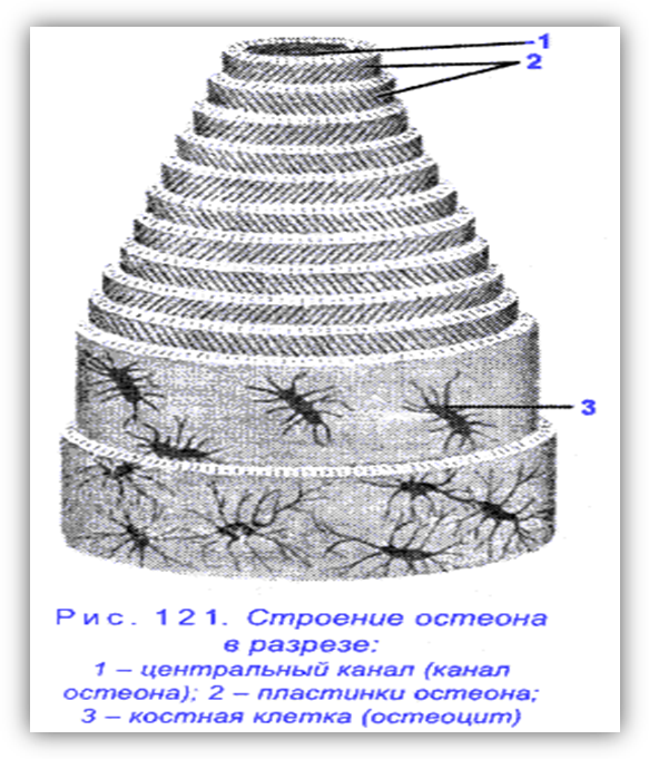 Система Гаверсова фото