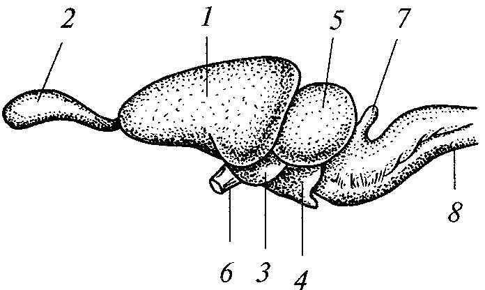 Головной мозг ящерицы вид