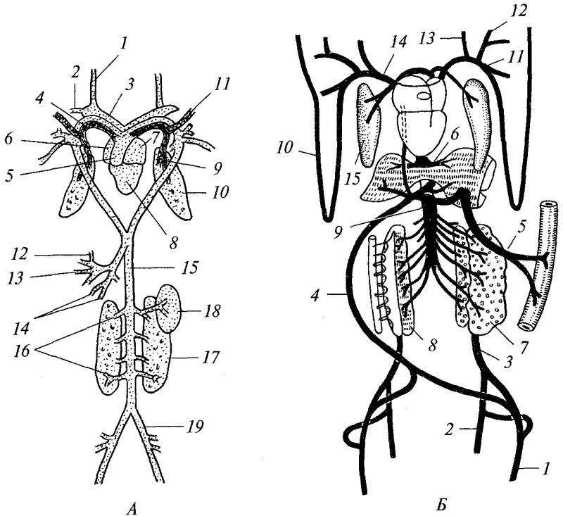 Кровеносная система лягушки: