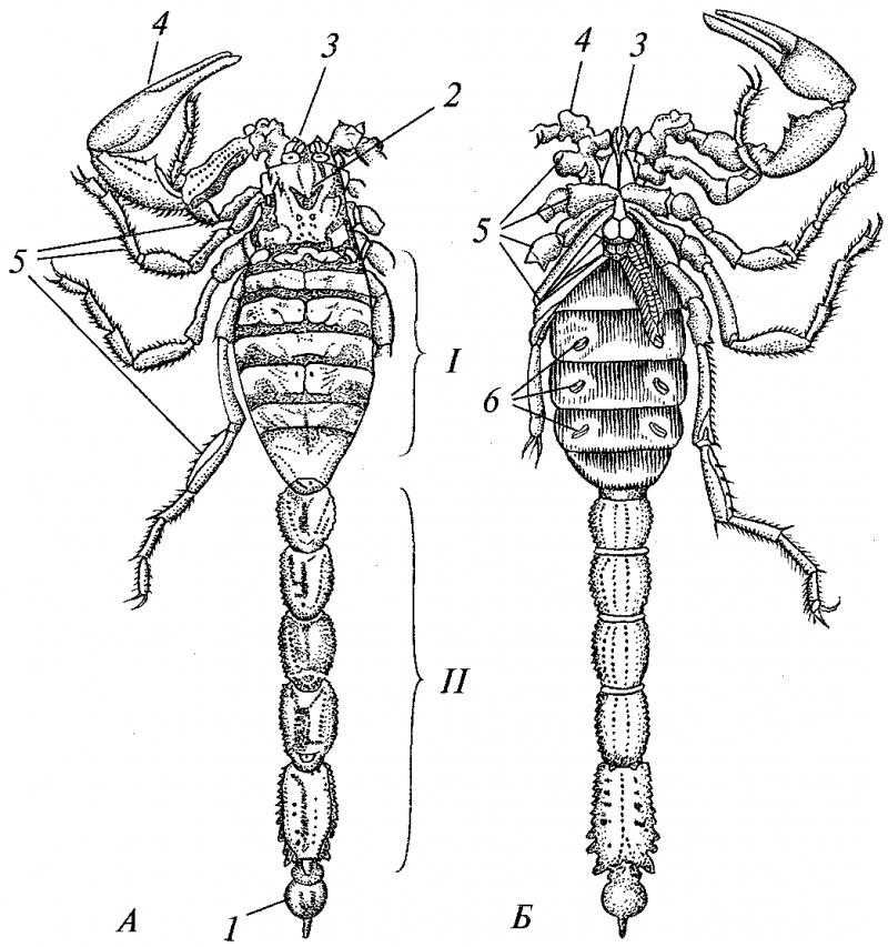 Строение скорпиона: