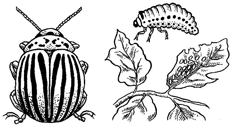 Колорадский жук (Leptinotarsa
