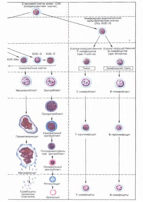 Постэмбриональный гемопоэз