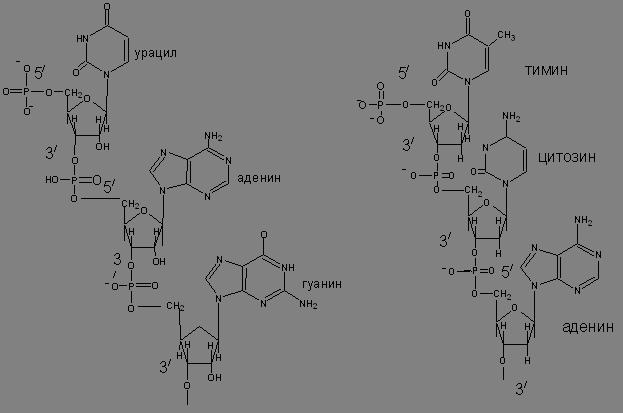 Рис. фрагмент РНК фрагмент ДНК
