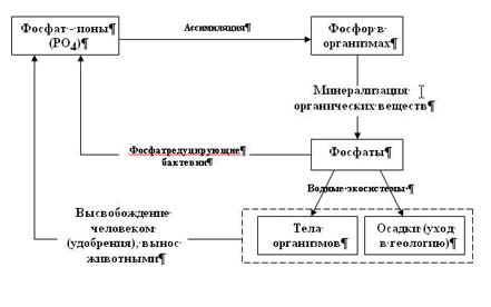 Круговорот фосфора.